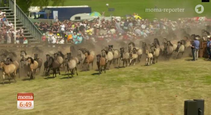 Viele Wildpferde laufen in eine Arena mit Wiese, um die herum viele Zuschauer sitzen.