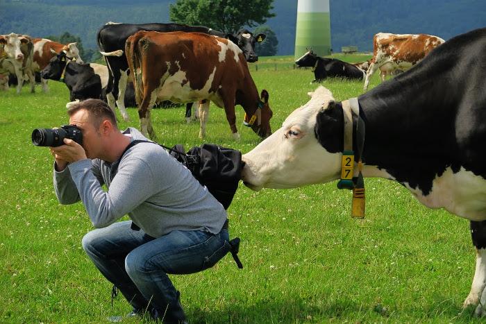 Ein Mann hockt auf einer Wiese und fotografiert, während ihn von hinten eine Kuh beschnuppert.