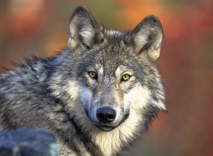 Canis lupus grauer wolf