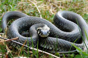Schlange im Gras.
